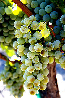 220px-Semillon_wine_grapes.jpg